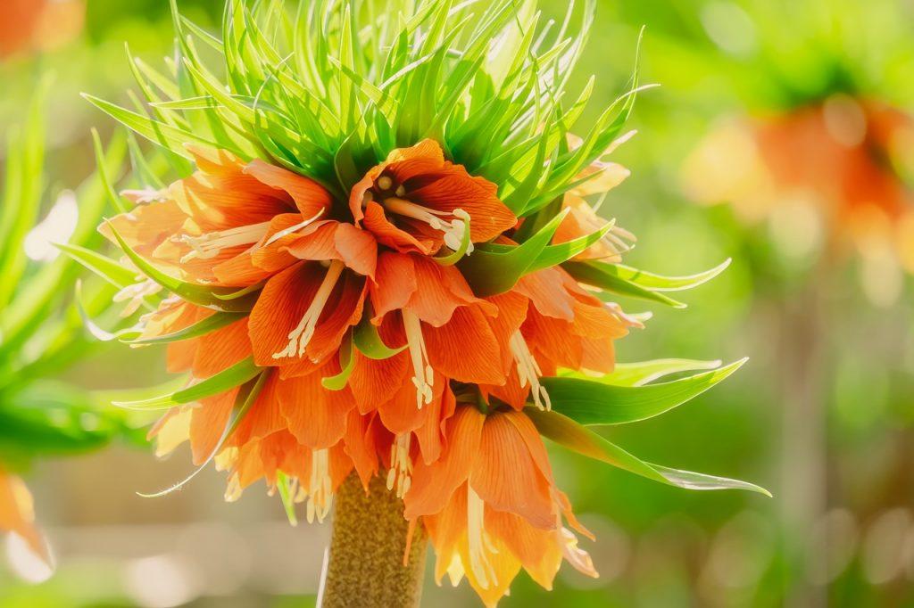 kwiat szachownica