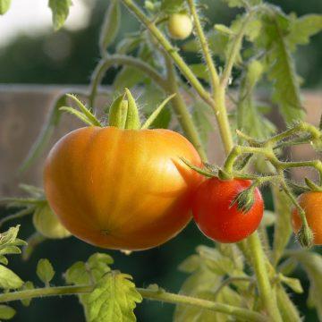 Jakie warzywa można uprawiać na tarasie?