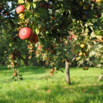 Drzewa do ogrodu. Najmniej wymagające drzewka owocowe