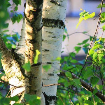 Wady i zalety brzozy w ogrodzie