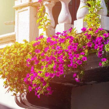 Kwiaty balkonowe. Jaki jest najlepszy termin siewu?