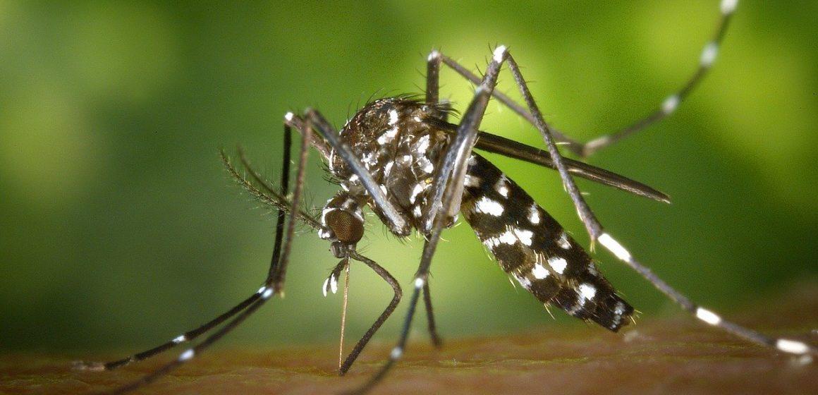 komar na skórze