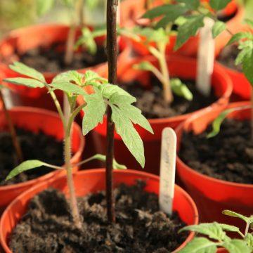 Sadzenie pomidorów krok po kroku