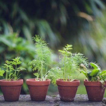 Zioła ogrodowe wieloletnie. Zobacz co warto posadzić