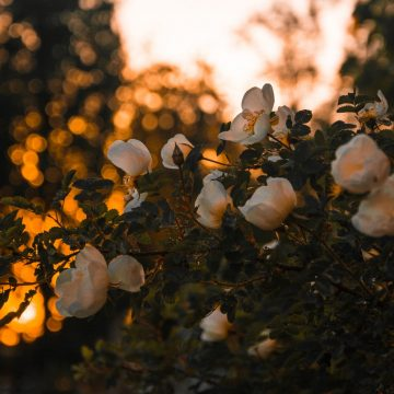 Róże pnące — uprawa i pielęgnacja